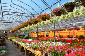 Johnston's Greenhouse's full section of Annuals